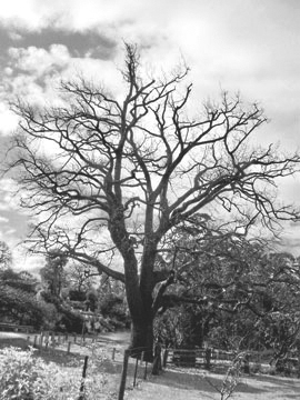 Historic Oak Tree